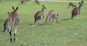 A Mob of Roos