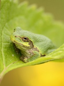 eastern-gray-tree-frog-Photo-Gary-Yankech-Creative-Commons-license